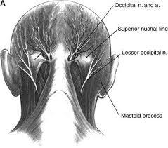 The Trapezius Muscle Mauricio Gomes Remedial Massage